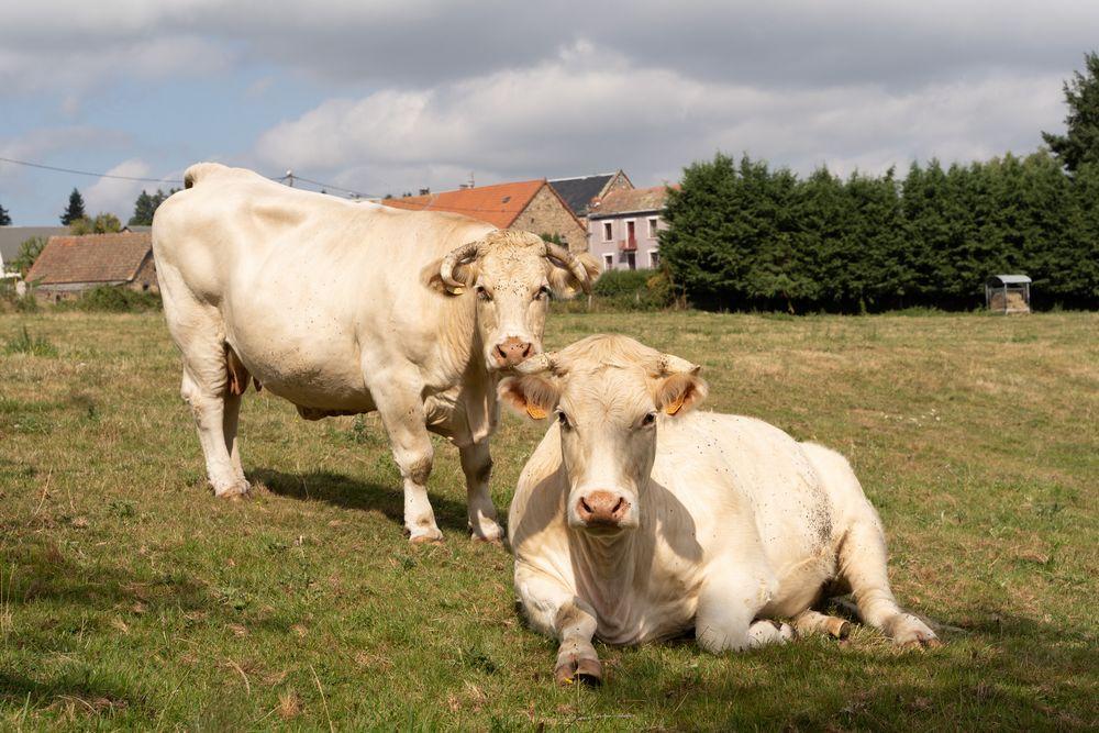 vaches auvergne